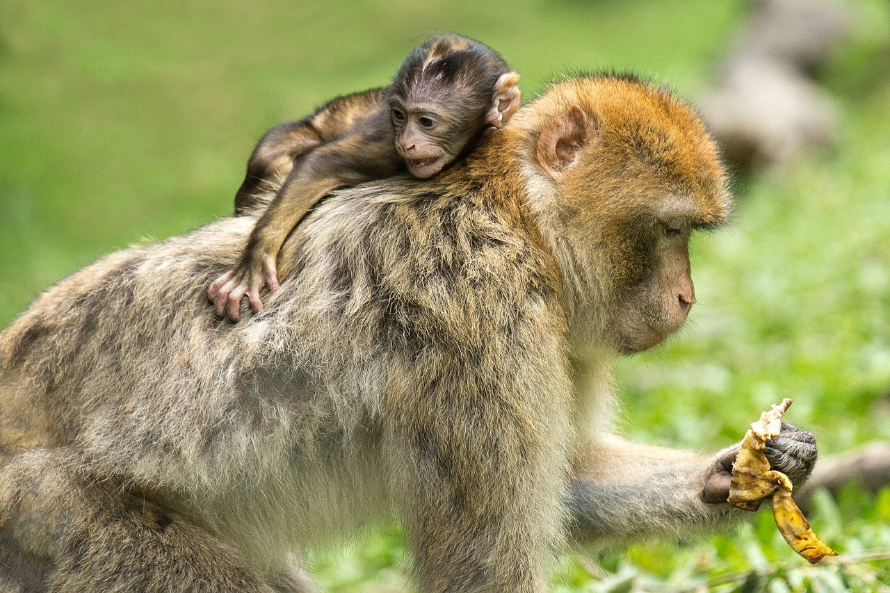 barbary macaques, monkeys, mother and child