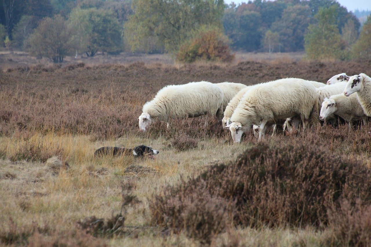 sheep, dog, ermelo
